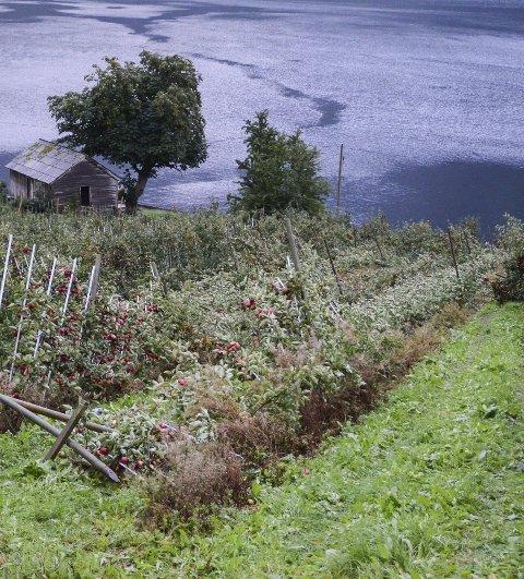Rasert etter uværet: Dette  hva vær og vind kan gjøre med et fruktfelt. Fra idyll til kaos på få timer. Foto: Mette Bleken