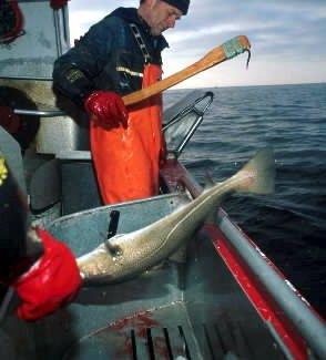 Tekst til bilde nr 20060410-044:Mengden skrei har minket med 20 prosent siden i fjor. (Arkivfoto: Eksportutvalget for fisk/ANB)