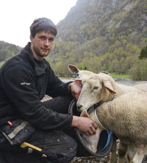 Oddmund Hildal med sauene sine på Hildal.