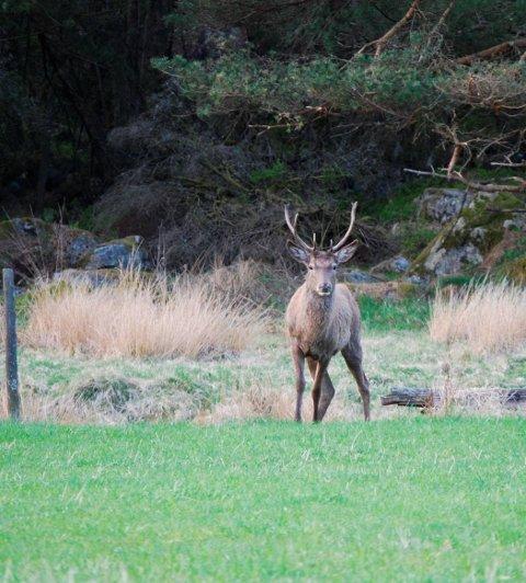 I Eidfjord og Ulvik kan ein jakta etter hjort og elg også i januar.