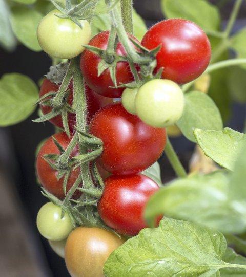 1 Sommerens høydepunkt: Lite smaker så godt som selvdyrkede tomater du kan høste rett fra planten.
