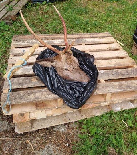 Alstahaug kommune hentet hjortebukken etter den ulovlige fellingen.