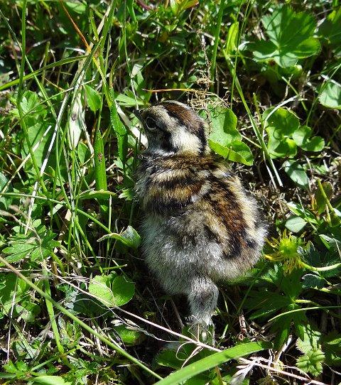 Kylling: Rypekyllingene blir flyvedyktige etter omlag 12 døgn. De er sårbare, men likevel hardføre fugler.