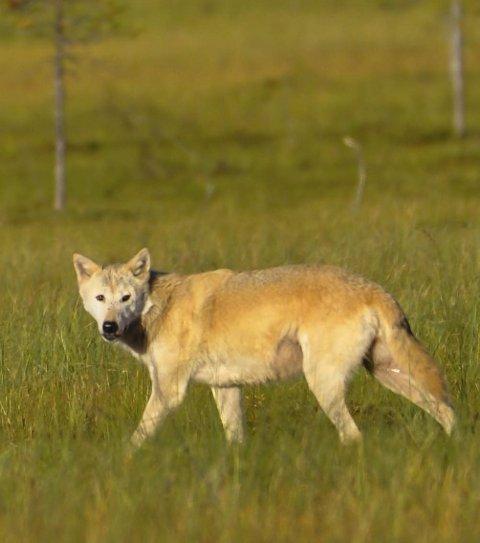 Det er gitt fellingstillatelse på en ulv i Skrukkelia, etter at minst 13 sauerr har blitt drept eller skadet av ulv. Illustrasjonsfoto: Marit Skjøtskift