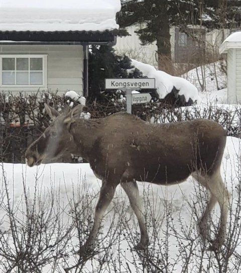 INNPÅSLITEN ELG: Kongen i Kongsvegen disse dagene... Mye snø gjør at elgen slår seg ned i hager og bruker vegnettet på sine vandringer til og fra matfatet. Foto: privat
