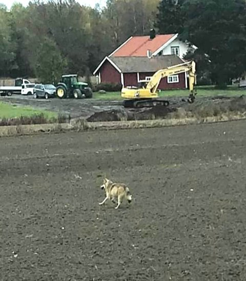 ULV: Her er ulven ute på jordet.