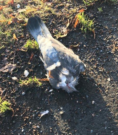 TRIST: Denne duen hadde fått hodet adskilt fra kroppen.