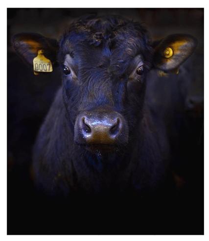 NORSK ANGUS: Black Angus er ein rein storferase, og er avla opp for best mogleg kjøtt.