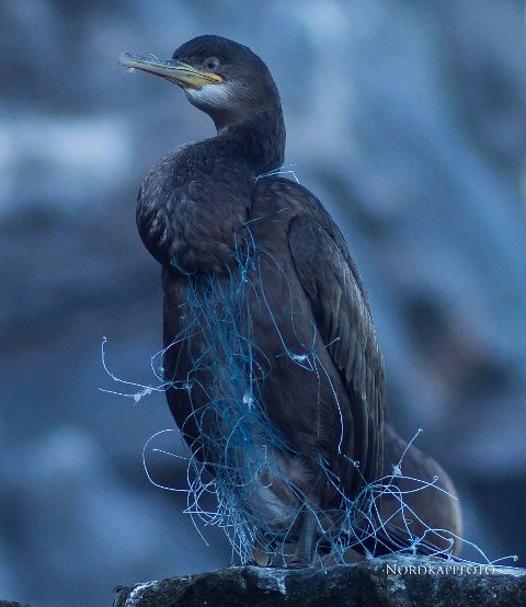 SATT FAST: Denne fuglen hadde surret seg fast i gamle garnrester i havet. Trond Trondsen fant den på en av sine mange turer som fuglefotograf i sommer.