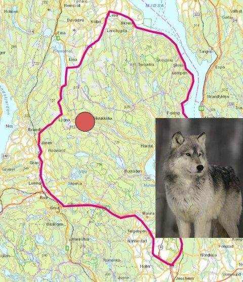 Inenfor dette området er det gitt fellingstillatelse på én ulv fram til fredag.