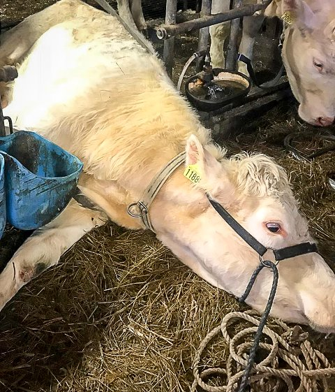 Kua døde etter at kalven var født