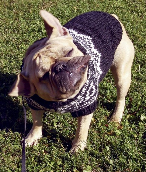 STRAM KAR: En fransk bulldog i kledelig brunt og hvitt. FOTO: Privat
