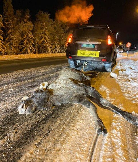 FLERE ULYKKER: Her er én av elgene som er blitt påkjørt på gamle riksveg 3/25 i Løten i vinter.