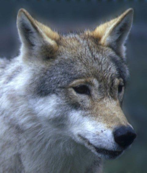 ULVER: Fra snøsporing og DNA-overvåking er det så langt i vinter påvist minst ni og høyst sannsynlig elleve ulverevir med valper i Norge og på tvers av riksgrensen. Foto: Per Løchen/SCANPIX