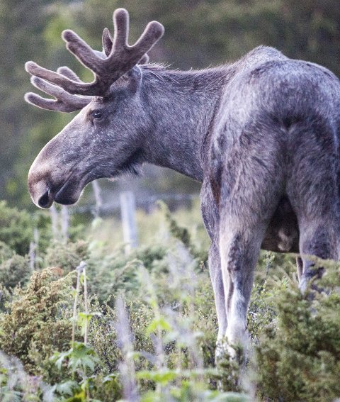 ELGOKSE: En skadeskutt elgokse var ikke nådig mot en elgjeger og hans hund i Tosebygda. ILLUSTRASJONSFOTO