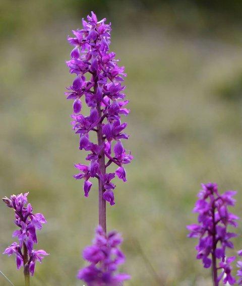 Orkidé ved Huser på Hvaler: Vårmarihånden trives på Asmaløy, og blomstrer i mai. (Arkivfoto: Øivind Lågbu)