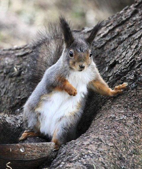 Vinner uke 17: Et veldig fint bilde av et ekorn som lener seg inntil et tre. Bildet er tatt med telelinse som gjør bakgrunnen uskarp. Det framhever blikket til ekornet som er med på å gjøre dette bildet så bra. Foto: Torill Vrålstad