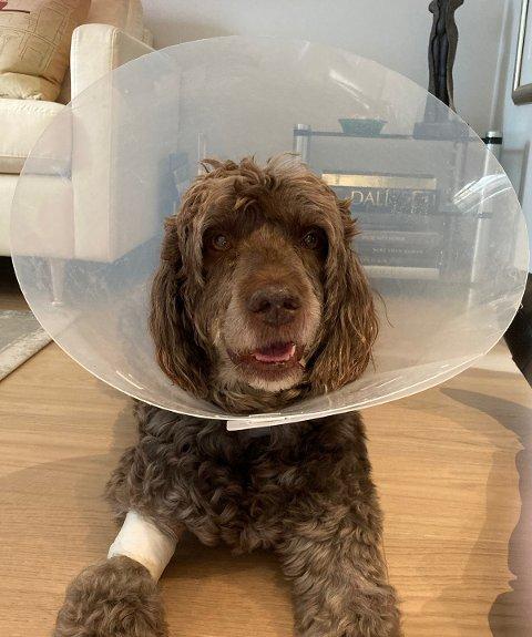 SKADET: Det gikk hardt utover Baltus, som ble angrepet av en løs hund sist torsdag.
