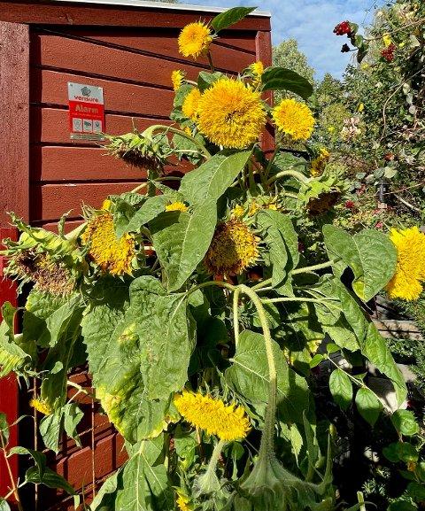 Solsikkene til Kjell Rosland bugner av blomster.