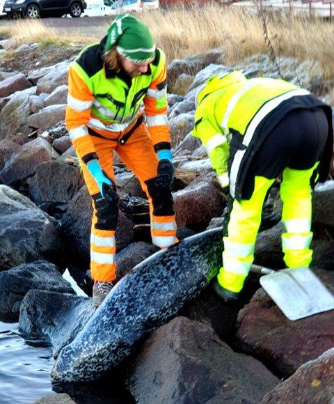 FLØT I SJØEN: Selen, som ble hentet opp av kommunens menn ved Indre havn, var skutt i hodet.