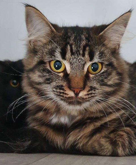 TRENGER HJEM: Flere katter trenger nytt hjem under korona-krisa. Simen er en av dem. De frivillige har nok å gjøre.
