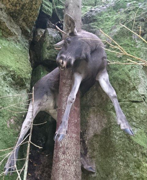 MAKABERT SYN: Pinnoksen falt fra et fjell og kilte seg fast mellom et grantre og fjellveggen i Tanums kommun. En elgjeger oppdaget den uheldige oksen i forrige uke.