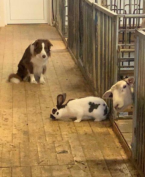 «Påskeharen» på besøk: Line har fjøset fullt på heimebane med både hund, kanin og sau.