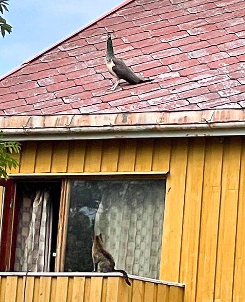 STIRREKONKURRANSE: Katten fulgte nøye med på hva påfuglen foretok seg på taket til eieren sin.