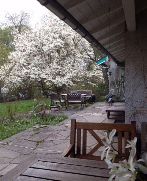 Magnoliaen i full blomstring.