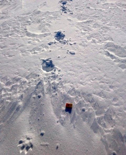 STORE SPOR: Statens Naturoppsyn sier det fort kan være ulv på ferde igjen i Troms, denne gangen i Kvænangen, etter at reindriftssamen Nils Ante Gaup fant disse sporene og to reinkadavaer på fjellet. Foto: Nils Ante Gaup