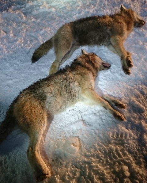 UNDERVEGS: Domstolens slutning om fortsatt jakt på ulv åpner for å være undervegs til Stortingets vedtak.