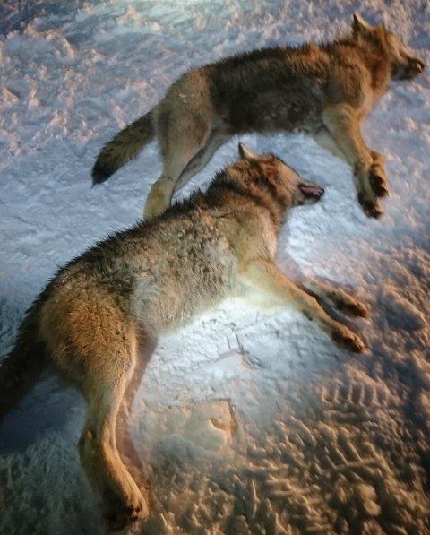 TO SMÅ VALPER: Ulvene som ble skutt mandag er ifølge Statens naturoppsyn to forholds små ulver, trolig valper født våren 2017.