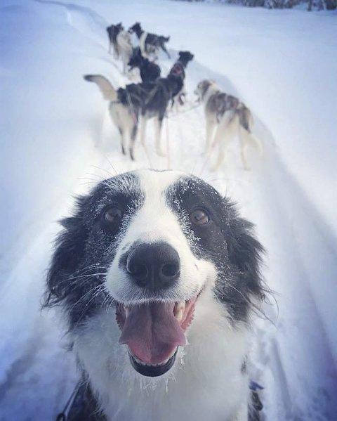 LISSIE PÅ LASSET: Border collien Lissie er med Alaska huskyene på hundekjøring.Foto: Kjell Roar Åsvestad