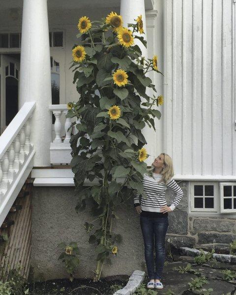 NOEN HØYERE? Denne solsikken i Florabakken er omtrent 3,60 meter høy. Foto: Privat