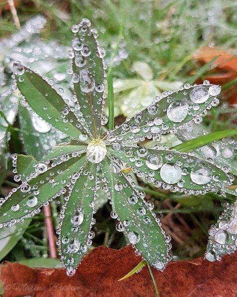 PERLER: Hilde Marina Bakken har tatt et vakkert bilde av vannperler. Hilde er ukesvinner.
