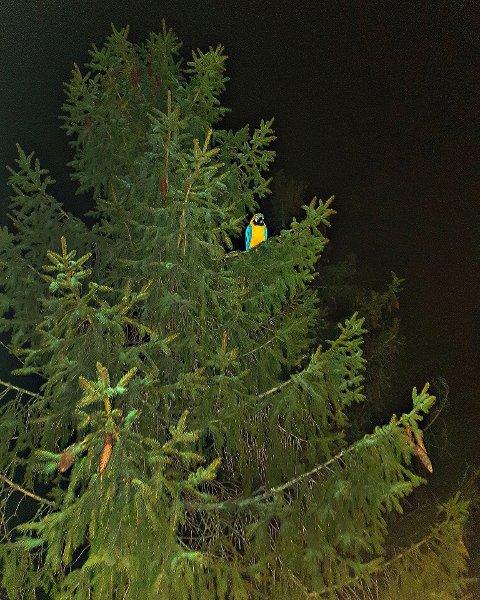 HØYT OPPE: Papegøyen Pia hadde tatt tilhold nær toppen av ei gran.