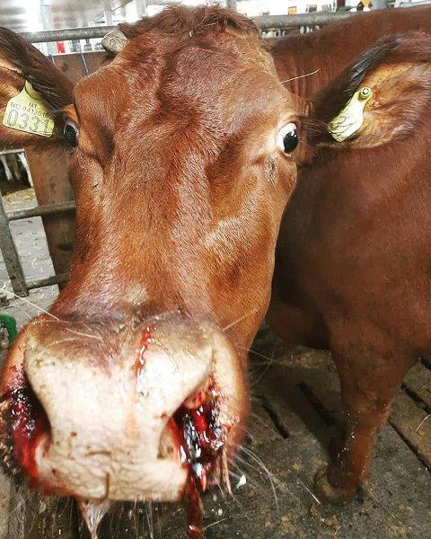 BLØDDE: Slik så kua ut etter å ha fått i seg metallbiter gjennom foret. Det endte med at kua, som var drektig i sjette måned, måtte nødslaktes i helga.