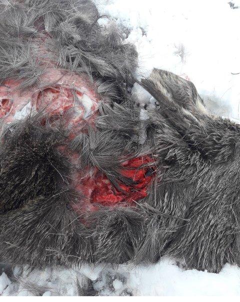 Blodig: Begge elgkalvene måtte bøte med livet da løse hunder gikk til angrep i Misvær i helgen. Eieren vil bli anmeldt til politiet.