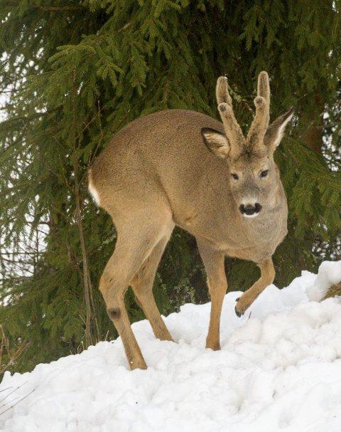 RÅDYR i SNØEN: Rundt en halv meter med snø skaper strabaser for rådyrene i IØ-terrenget.Illustrasjonsfoto