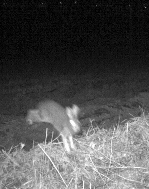 I Ulvereviret: Hare.