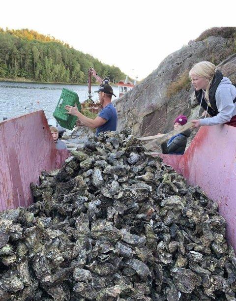 Lyngmyr-elever: Plukket 3,8 tonn stillehavsøsters i Halskilen. Den uønskede arten finnes flere steder i Tvedestrand. Foto: Privat