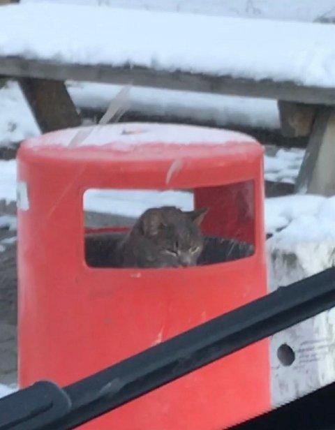 PUS: En korthåret grå katt er observert i en søppelkasse tidligere i dag, nå er det satt ut feller for å fange den inn.
