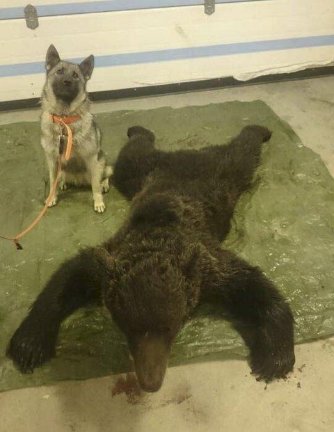 Store Hjortskaret: Denne bjørnen på 102 kilo ble skutt i Grane søndag kveld. Foto: Privat