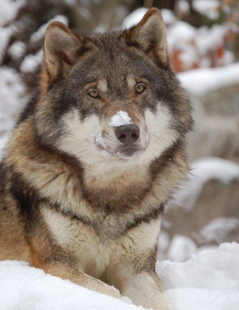 Utsatt sauejeger: Ulven, enten den er norske eller svensk.
