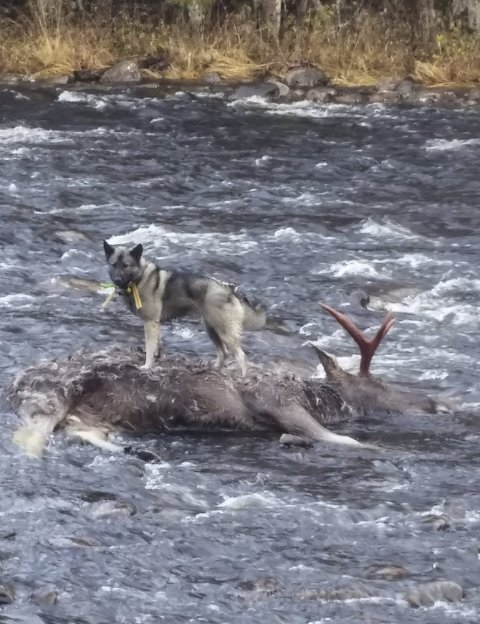 Spesielt: Denne elgoksen var på vei over ei elv da den ble skutt.Hunden løp også ut i elva, og er fornøyd med jaktbyttet. Foto: Per Brauti