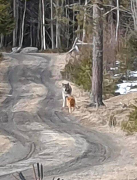 MØTE: Her møtes ulven og hunden knappe 50 meter fra hundens eier, Erling Nordgaard.