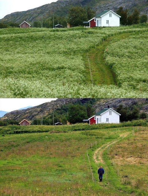 Samme landskap før og etter beiting med storfe