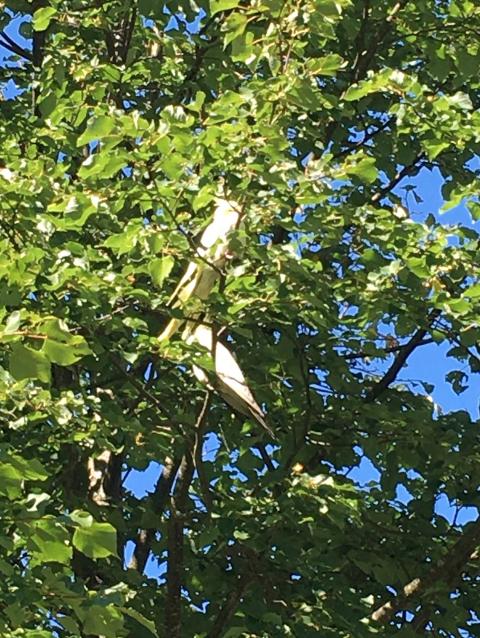 PÅ CAMPING: Dei to papegøyane ser ut til å stortrivast på Lunde camping.