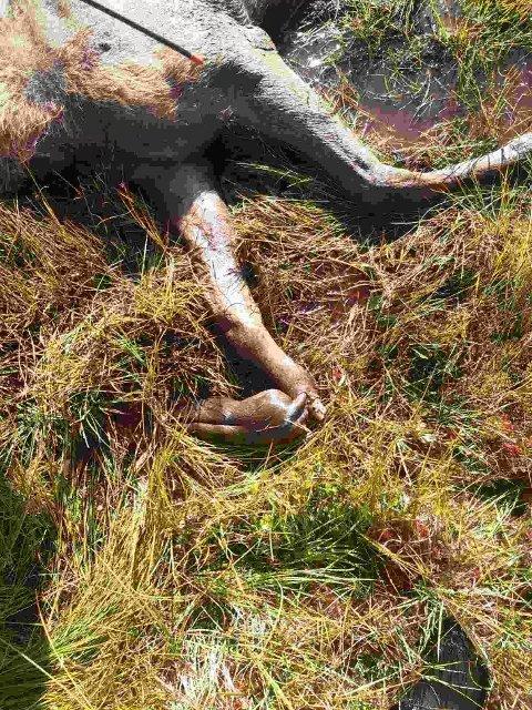 AVLIVET: Bilde av framfoten på elgkalven. Foto: Fallviltgruppa
