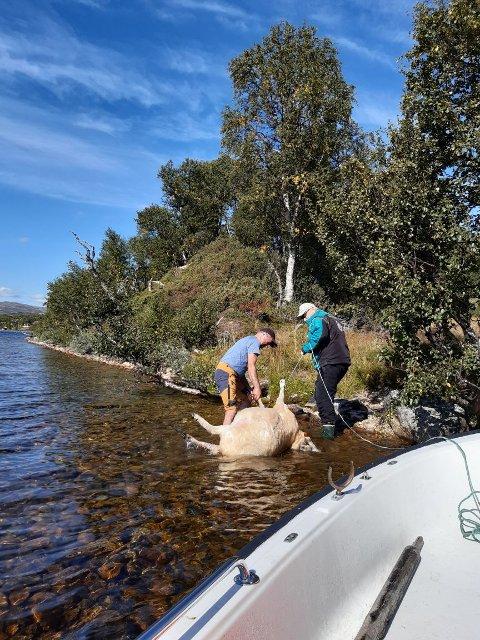 SKREMT: Nørdalen Sankelag måtte bruke båt og slepetau for å få de døde sauene i land. Det var bjørnen som hadde skremt de ut i sjøen.